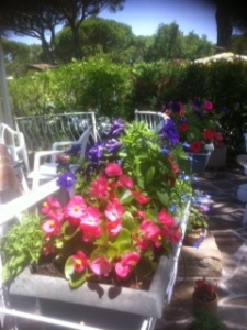 The Bedding plants we brought over from Cornwall 4 weeks ago