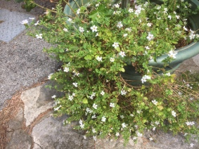 Bacopa from last year