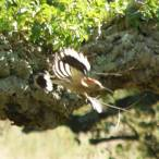 flying hoopoe